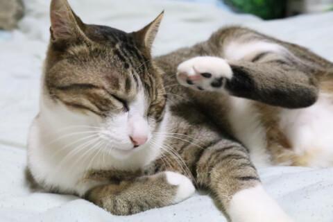 猫の耳ダニの原因、治療、予防法
