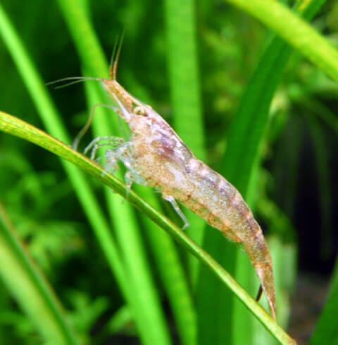 freshwatershrimp