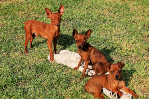 miniature_pinscher_red
