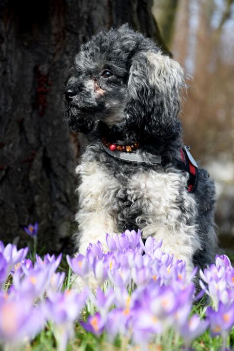 紫の花とミニチュアプードル