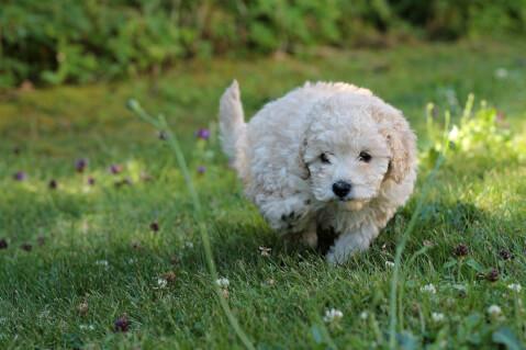 白いミニチュアプードルの子犬