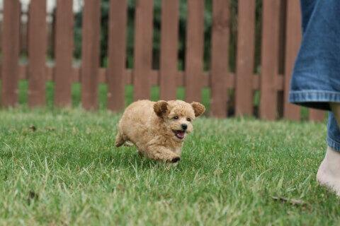 走るオレンジ色のミニチュアプードルの子犬