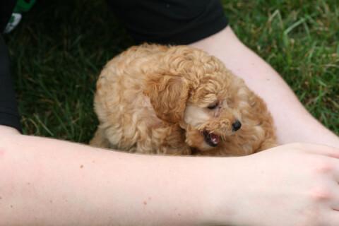 腕の中にいるミニチュアプードルの子犬