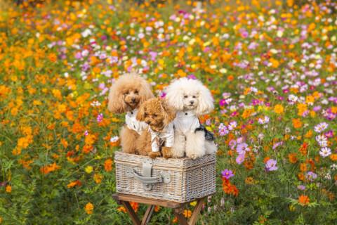 花畑にいるミニチュアプードルとトイプードル