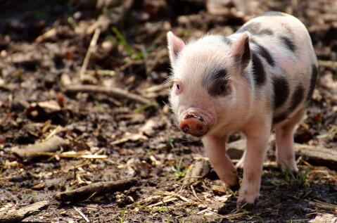 ブチ模様の豚の子ども