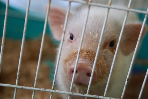 ケージ越しの子豚