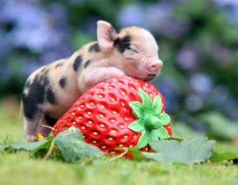 イチゴに乗る子豚