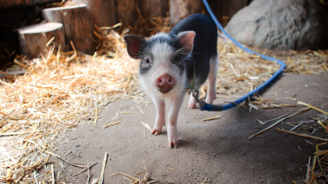 リードに繋がれた子豚