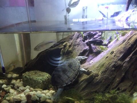 流木の入った水槽にいるミシシッピニオイガメ
