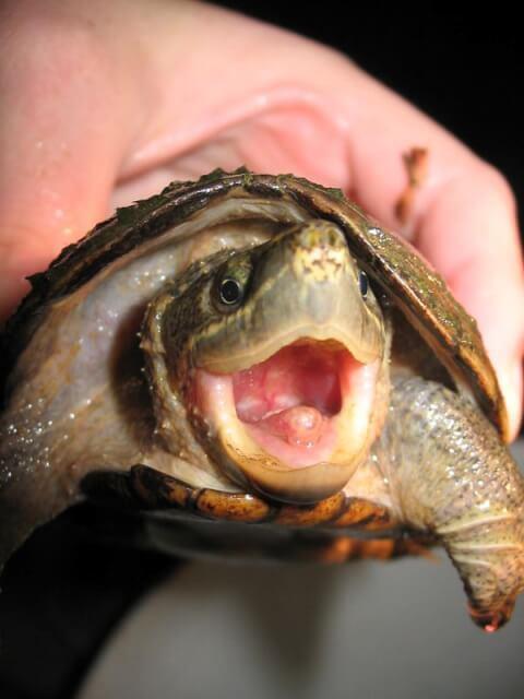 大きな口を開けるミシシッピニオイガメ