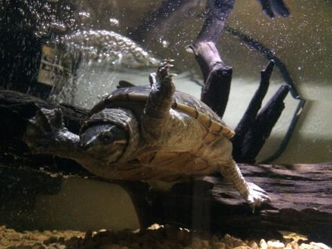 水中を泳ぐミシシッピニオイガメ