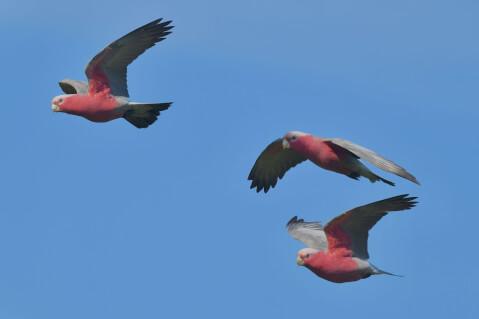 空を飛ぶモモイロインコ3羽