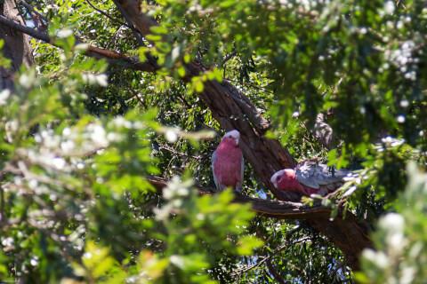 木に留まる2羽のモモイロインコ
