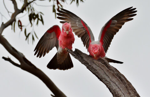 羽を広げているモモイロインコ2羽