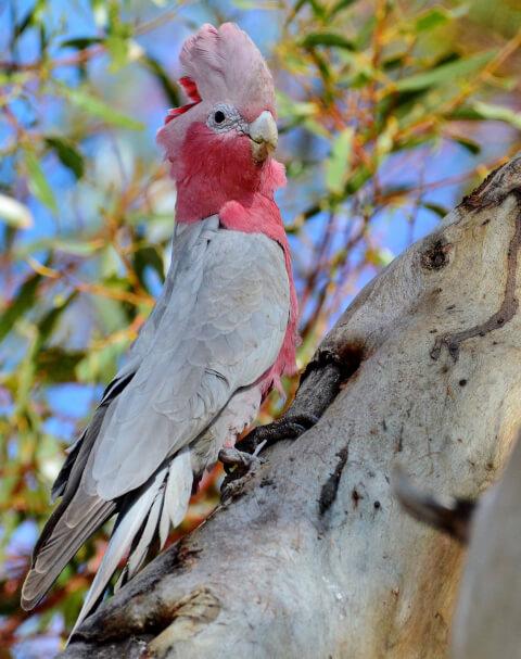 青空を背景に冠羽を広げるモモイロインコ