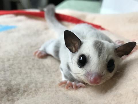 フクロモモンガ ベビー 赤ちゃん