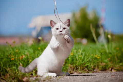マンチカン 性格 寿命 猫 値段 大人 特徴