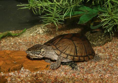 musk_turtle