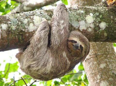 木にぶら下がるナマケモノ