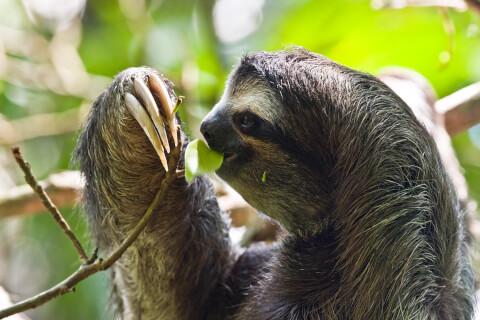 葉っぱを食べるナマケモノ