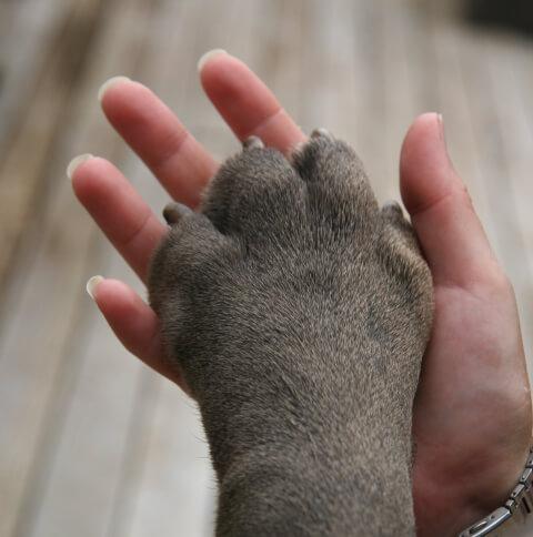 ナポリタンマスティフの手と人間の手