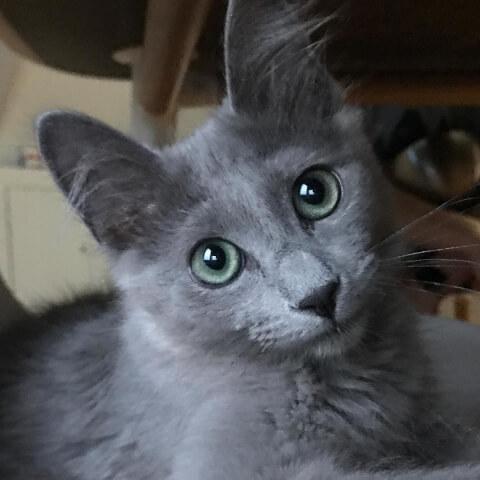 見上げるネベロングの子猫