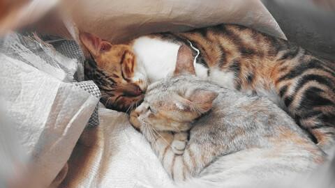 寄り添って寝る猫たち
