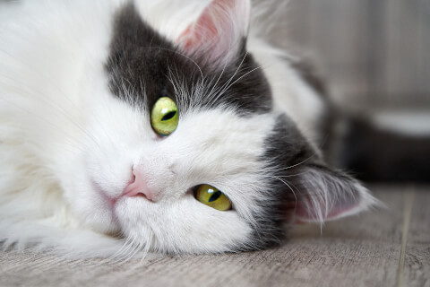 画面左から白黒の長毛猫のアップ
