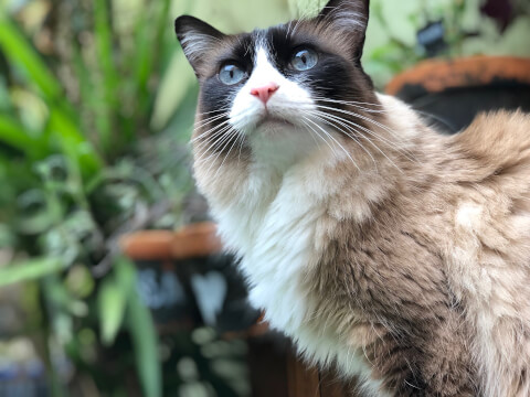 左上を見る青い目の猫