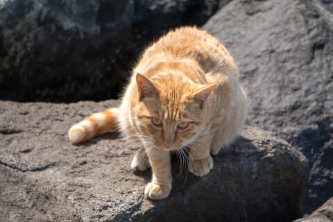 茶トラの猫