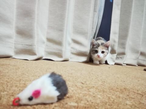 ねずみのおもちゃを狙う猫