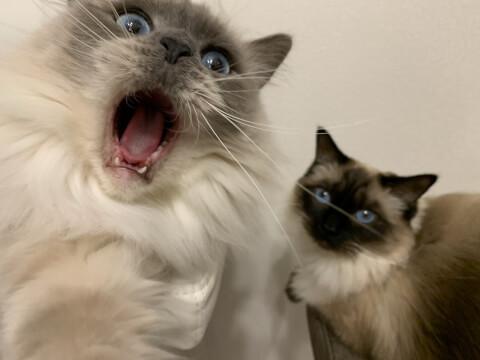 大きな口を開ける猫