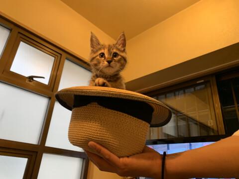 帽子にはいる猫