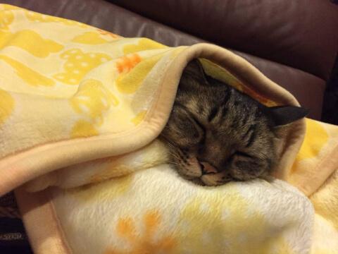 毛布で寝る猫