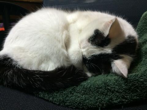 寝る白黒猫