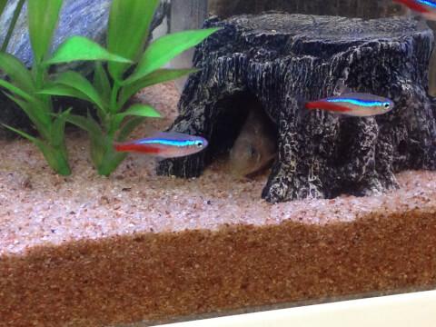ネオンテトラ ペット 魚