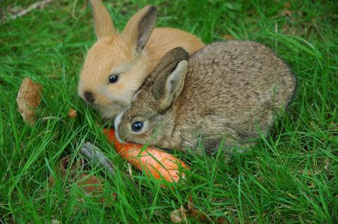 netheerlanddwarf_carrot