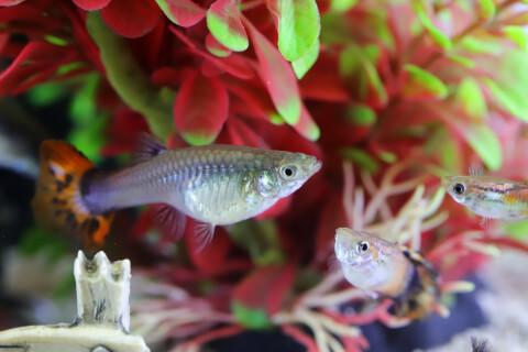 緑と赤の水草背景・3匹の熱帯魚