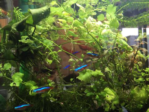 水草水槽の下の方で泳ぐネオンテトラ