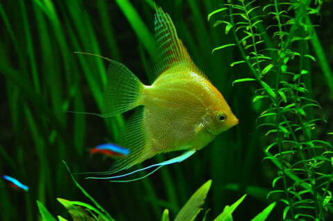 黄色い魚で背景にテトラ