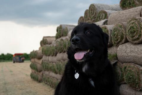 ニューファンドランド 子犬 性格 飼い方 大きさ 寿命