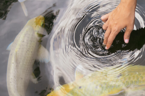 錦鯉 種類 値段 飼育 水槽 寿命 販売 色