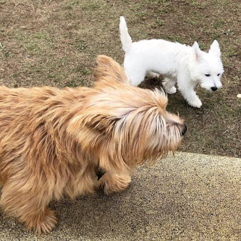 ノーリッチテリアと白い犬