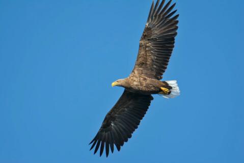 空を飛ぶオジロワシ