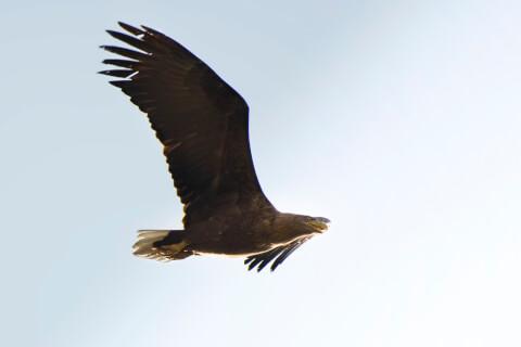 右に向かって飛ぶオジロワシ