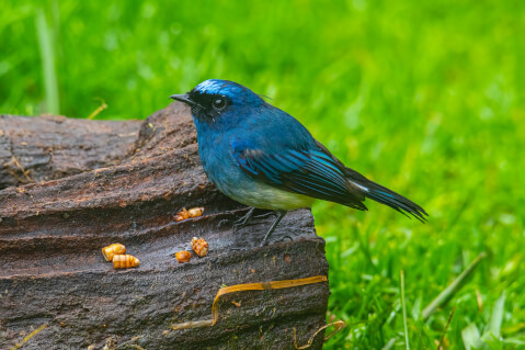 オオルリ 鳴き声 幼鳥 メス オス 特徴 野鳥