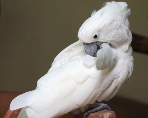 羽繕いをするタイハクオウム