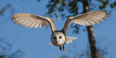飛行するメンフクロウ