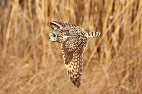 野外で左に向かって飛ぶフクロウ