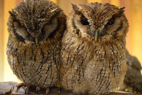 フクロウのカップル